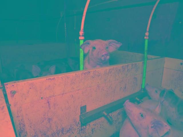 Footage of pigs at Flat House Farm on Ullesthorpe Road, Gilmorton.