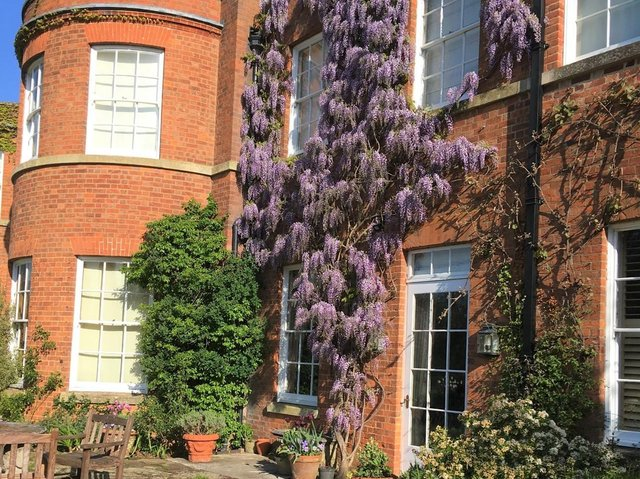 Blue Wisteria in flower at Thorpe Lubenham Hall