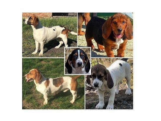 All five working basset hounds stolen from kennels in a Harborough village have been recovered by police.