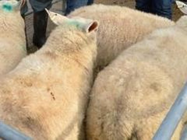 The historic Market Harborough sheep market has re-opened after being shut for 10 weeks.