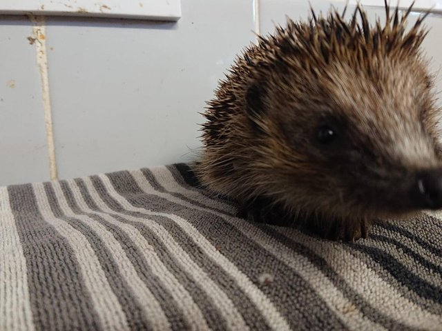 The hedgehog was rescued from the River Welland by horrified eye-witnesses in the nick of time. Phot by Leicestershire Wildlife Hospital.