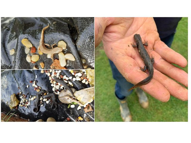 An in-depth ecological survey has been carried out in a bid to protect the seriously-endangered great crested newt as well as all other wildlife in the stunning Welland Valley.
